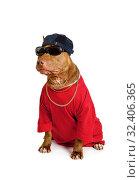 Купить «Funny American Pit Bull Terrier dog dressed in a red tee shirt and a cap», фото № 32406365, снято 30 октября 2019 г. (c) Алексей Кузнецов / Фотобанк Лори