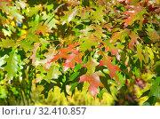 Купить «Разноцветные листья дуба красного или остролистного (лат. Quercus rubra) осенью», фото № 32410857, снято 12 октября 2018 г. (c) Елена Коромыслова / Фотобанк Лори