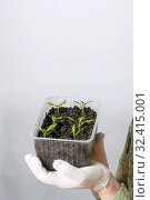 Купить «A female gardener shows a pot with sprouts after a pick.», фото № 32415001, снято 3 апреля 2016 г. (c) Акиньшин Владимир / Фотобанк Лори