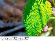 Blatt im Sonnenschein, Symbol für Sommer, Wachstum, Netzwerke. Стоковое фото, фотограф Zoonar.com/Erwin Wodicka / age Fotostock / Фотобанк Лори