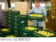 active man working on fruit sorting line, carrying box with apples in storage. Стоковое фото, фотограф Яков Филимонов / Фотобанк Лори