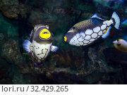 Купить «Крупнопятнистый спинорог, или конспициллум  Balistoides conspilum. Пара тропических  рыбок в аквариуме», фото № 32429265, снято 4 мая 2019 г. (c) Татьяна Белова / Фотобанк Лори