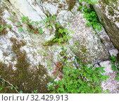 Купить «Герань Роберта (лат. Geranium robertianum) на замшелой скале», фото № 32429913, снято 1 мая 2019 г. (c) Наталья Гармашева / Фотобанк Лори
