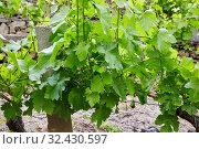 Купить «Vineyards, Ribeira Sacra, Heroic Viticulture, Sil river canyon, Doade, Sober, Lugo, Galicia, Spain», фото № 32430597, снято 23 мая 2019 г. (c) age Fotostock / Фотобанк Лори