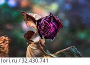 Verblühte Blumen. Tod, Lebensende, Sterben, Vergessen und Erinnerung. Стоковое фото, фотограф Zoonar.com/Erwin Wodicka / age Fotostock / Фотобанк Лори