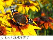 Купить «Бабочка Адмирал (лат. Vanessa atalanta) на цветке рудбекии», фото № 32439917, снято 23 августа 2018 г. (c) Елена Коромыслова / Фотобанк Лори
