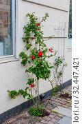 Rose bush on the street. Copenhagen, Denmark. Стоковое фото, фотограф Николай Коржов / Фотобанк Лори