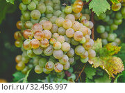 Grapes on the vine. Стоковое фото, фотограф Константин Колосов / Фотобанк Лори