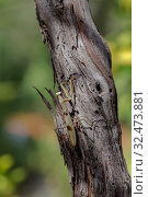 Female praying mantis (Mantis religiosa) sitting on a tree close-up. Стоковое фото, фотограф Татьяна Ляпи / Фотобанк Лори