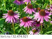 Купить «Эхинацея пурпурная (лат. Echinacea purpurea) цветет в летнем саду», фото № 32474921, снято 7 августа 2019 г. (c) Елена Коромыслова / Фотобанк Лори