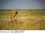Hartebeest stands on termite mound in grassland. Стоковое фото, фотограф Zoonar.com/nwd / easy Fotostock / Фотобанк Лори