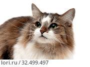 Fluffy cat on a white background close-up. Стоковое фото, фотограф Ласточкин Евгений / Фотобанк Лори