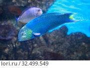Купить «Рыба-попугай (Parrotfish) на рифе», фото № 32499549, снято 6 мая 2019 г. (c) Татьяна Белова / Фотобанк Лори