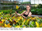 Купить «Woman florist satisfied with her dieffenbachia plants in greenhouse», фото № 32500421, снято 22 мая 2019 г. (c) Яков Филимонов / Фотобанк Лори