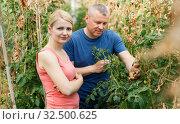 Купить «Two workers checking tomato plants», фото № 32500625, снято 5 июля 2018 г. (c) Яков Филимонов / Фотобанк Лори