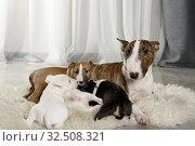 Купить «Miniature Bull Terrier dog with four puppies», фото № 32508321, снято 13 ноября 2019 г. (c) Алексей Кузнецов / Фотобанк Лори