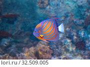 Купить «Рыба Ангел кольчатый анулярис  (Pomacanthus annularis)», фото № 32509005, снято 6 мая 2019 г. (c) Татьяна Белова / Фотобанк Лори