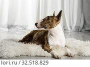 Купить «Adult Miniature Bull Terrier dog lying on a fur rug», фото № 32518829, снято 13 ноября 2019 г. (c) Алексей Кузнецов / Фотобанк Лори