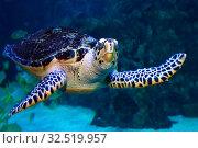 Купить «Морская черепаха. Портрет  (Eretmochelys imbricata)», фото № 32519957, снято 18 февраля 2019 г. (c) Татьяна Белова / Фотобанк Лори