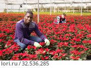 Купить «African worker caring of Euphorbia pulcherrima», фото № 32536285, снято 29 октября 2019 г. (c) Яков Филимонов / Фотобанк Лори