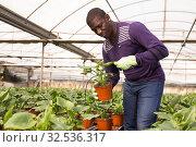 Купить «Confident farmer working with asplenium antiquum seedlings in greenhouse», фото № 32536317, снято 29 октября 2019 г. (c) Яков Филимонов / Фотобанк Лори