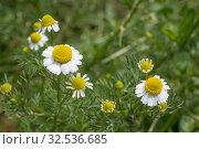 German Chamomile (Matricaria chamomilla) on green backgrond. Soft focus. Стоковое фото, фотограф Некрасов Андрей / Фотобанк Лори