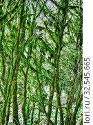 Купить «Famous Boxwood Colchis (Buxus colchica) subtropical evergreen covered Neckera moss, vegetable relink pre-glacial Europe, saw Odysseus. Iron wood, not sink in water. Colchis. East shore of Black sea», фото № 32545665, снято 18 февраля 2020 г. (c) easy Fotostock / Фотобанк Лори