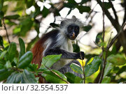 Купить «Zanzibar red colobus in Jozani forest. Tanzania, Africa», фото № 32554537, снято 6 октября 2019 г. (c) Знаменский Олег / Фотобанк Лори