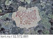 Купить «Офиопарма вздутая на камне. Северная Карелия. Россия», фото № 32572881, снято 23 августа 2019 г. (c) Наталья Осипова / Фотобанк Лори