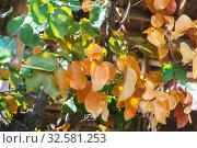El Nido, Palawan Island, September 2018, Filipino vegetation, flowers and plants. Стоковое фото, фотограф Степанов Илья / Фотобанк Лори