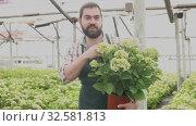 Купить «Positive man farmer working with Hydrangea plants while gardening in glasshouse», видеоролик № 32581813, снято 26 апреля 2019 г. (c) Яков Филимонов / Фотобанк Лори