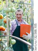 Купить «Man professional horticulturist picking harvest of tomatoes to bucket in greenhouse», фото № 32588105, снято 13 августа 2018 г. (c) Яков Филимонов / Фотобанк Лори