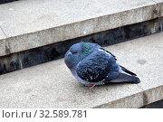 Темно-серый голубь нахохлился и сидит на ступеньке. The dark gray pigeon is scruffy and sits on a step. Стоковое фото, фотограф Светлана Федорова / Фотобанк Лори