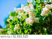 Купить «White lilac blooming in the garden. Selective focus.», фото № 32592525, снято 29 февраля 2020 г. (c) easy Fotostock / Фотобанк Лори