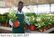 Купить «Salesman preparing for sale potted Dieffenbachia Camille», фото № 32601037, снято 22 мая 2019 г. (c) Яков Филимонов / Фотобанк Лори
