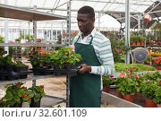 Купить «Farmer cultivating Begonia semperflorens in greenhouse», фото № 32601109, снято 22 мая 2019 г. (c) Яков Филимонов / Фотобанк Лори
