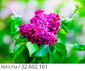 Купить «Blooming purple lilac. Branch with spring lilac flowers. Shallow depth of field. Selective focus.», фото № 32602161, снято 29 февраля 2020 г. (c) easy Fotostock / Фотобанк Лори