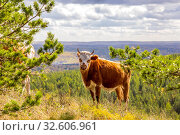 Купить «in late autumn, a young cow walks along the slopes of the mountains of the Southern Urals, the Republic of Bashkortostan.», фото № 32606961, снято 19 сентября 2019 г. (c) Акиньшин Владимир / Фотобанк Лори