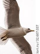 Купить «Полет чайки», эксклюзивное фото № 32607037, снято 2 апреля 2011 г. (c) Александр Алексеев / Фотобанк Лори