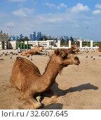 Camels in Camel Souq and Waqif Souq in Doha, Qatar, Стоковое фото, фотограф Володина Ольга / Фотобанк Лори