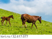 A horse and her newborn foal are walking on a lush green pasture on a summer day. Стоковое фото, фотограф Константин Лабунский / Фотобанк Лори