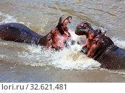 Hippo fighting at the masai mara. Стоковое фото, фотограф Zoonar.com/matthieu gallet / easy Fotostock / Фотобанк Лори