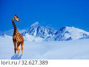 Купить «Giraffe stand in cold snow winter mountain range», фото № 32627389, снято 15 марта 2013 г. (c) Сергей Новиков / Фотобанк Лори