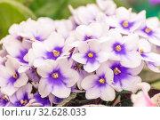 Купить «White pansies with blue-purple eyes on a summer day», фото № 32628033, снято 24 августа 2019 г. (c) Акиньшин Владимир / Фотобанк Лори