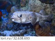 Купить «Иглобрюх или рыба фугу (Tetraodontidae)», фото № 32638693, снято 10 декабря 2019 г. (c) Татьяна Белова / Фотобанк Лори