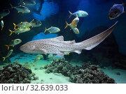 Зебровая акула (Stegostoma fasciatum) в морской воде. Стоковое фото, фотограф Татьяна Белова / Фотобанк Лори