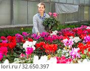 Female florist working with potted cyclamen. Стоковое фото, фотограф Яков Филимонов / Фотобанк Лори