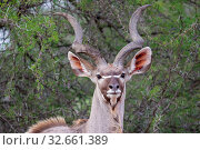A greater kudu in the Kruger national park South Africa. Стоковое фото, фотограф Zoonar.com/Matthieu Gallett / easy Fotostock / Фотобанк Лори