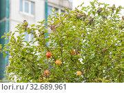 Купить «Стая воробьев на верхушке яблони в черте города», фото № 32689961, снято 8 сентября 2019 г. (c) Румянцева Наталия / Фотобанк Лори