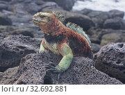 Colorful marine iguana (Amblyrhynchus cristatus), Isla Santa Cristobal, Galapagos Islands, Ecuador. Стоковое фото, фотограф Dave Stamboulis / age Fotostock / Фотобанк Лори